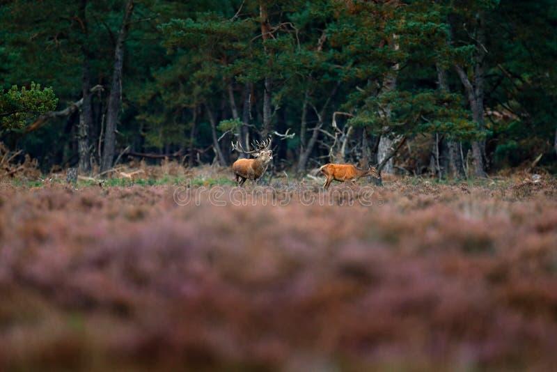 Czerwony rogacz, rutting sezon, Hoge Veluwe, holandie Jeleni jeleń, bellow majestatycznego potężnego dorosłego zwierzęcia na zewn obraz royalty free
