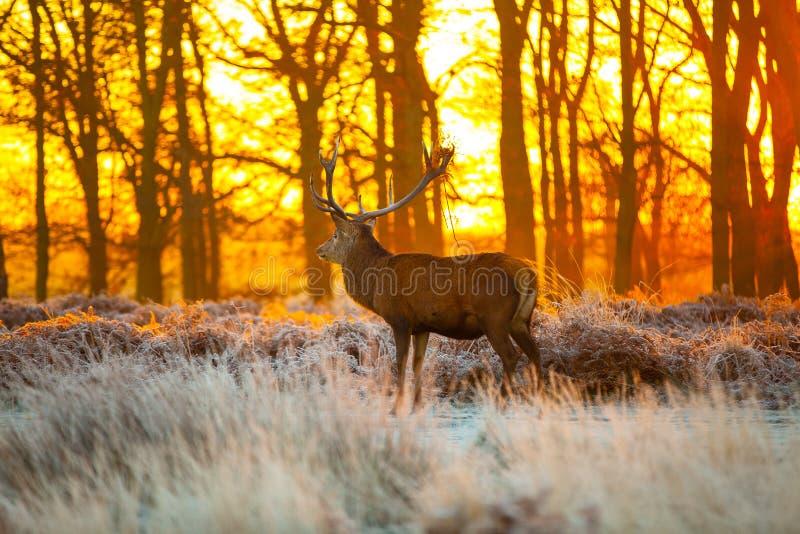Czerwony rogacz w ranku słońcu fotografia royalty free