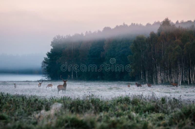 Czerwony rogacz z jego stadem na mgłowym polu w Białoruś fotografia stock