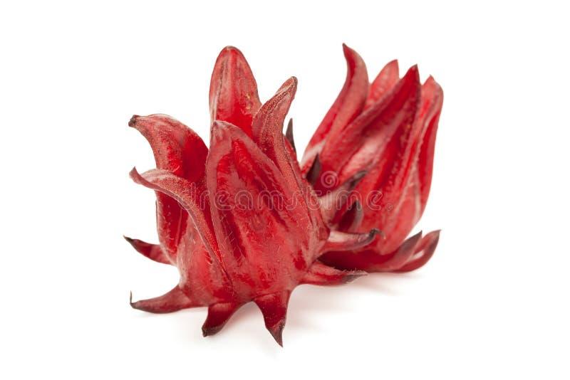 Czerwony roselle odizolowywający fotografia royalty free