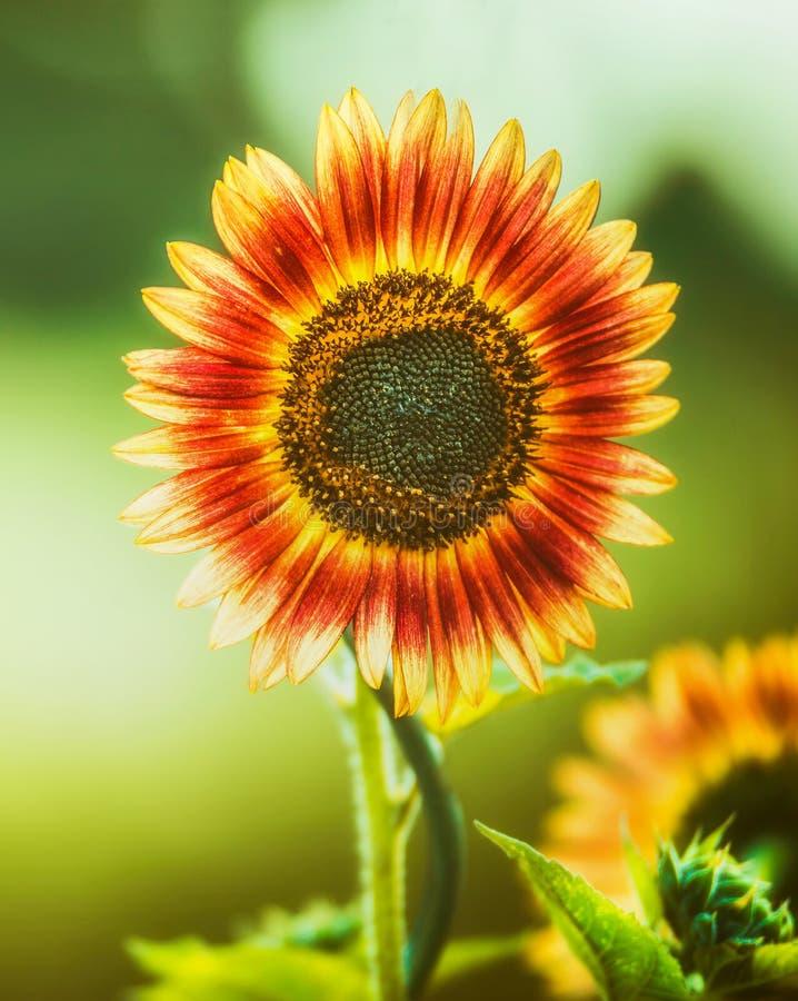 Czerwony słonecznik na zielonej naturze, zamyka up obraz stock