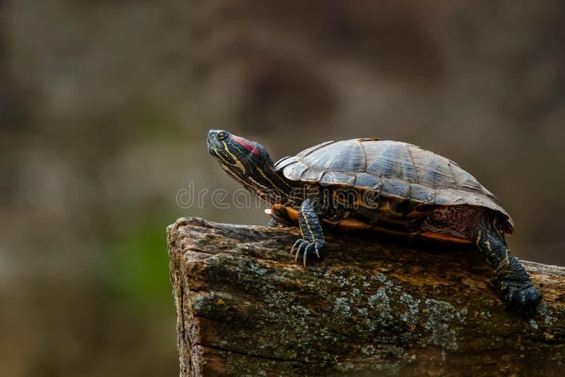 czerwony słyszący suwaka żółwia fotografia royalty free