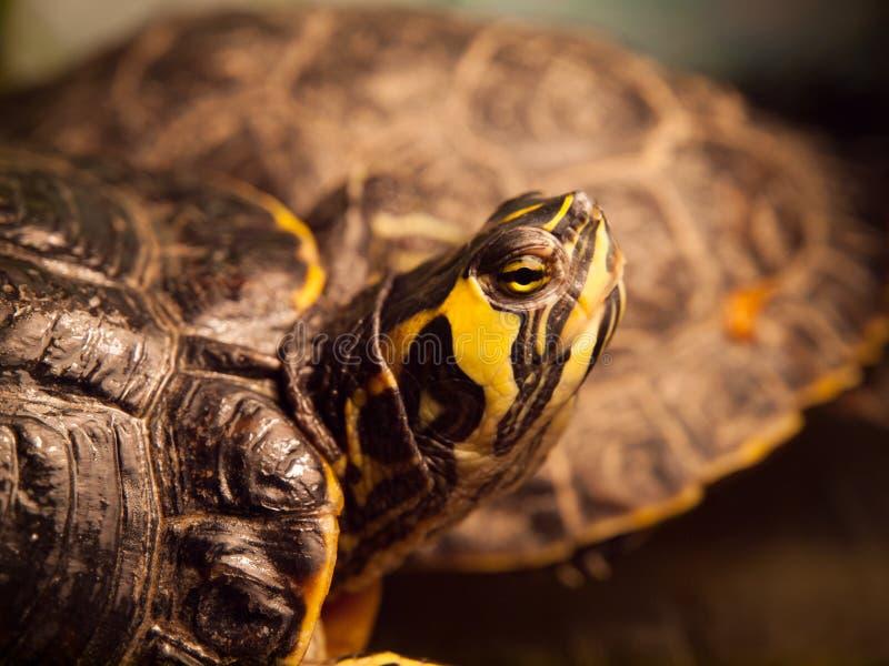 czerwony słyszący suwaka żółwia obraz stock