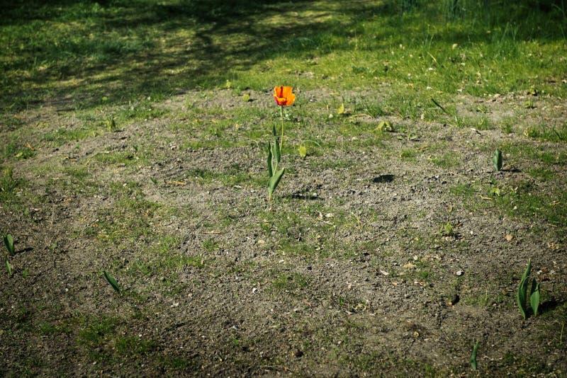 Czerwony Schrenck Tulipa lub tulipanu Tulipa schrenkii w stepie zdjęcie stock