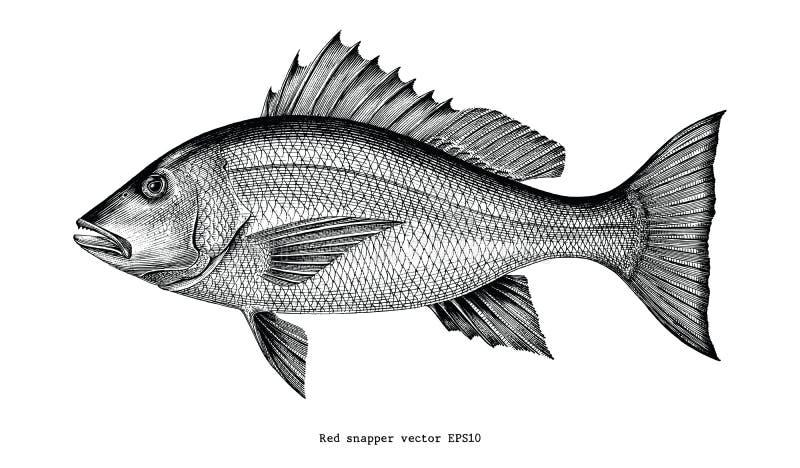 Czerwony snapper ręki rocznika rytownictwa rysunkowa ilustracja odizolowywająca royalty ilustracja