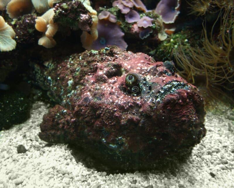 Czerwony Stonefish na ziemi obraz stock