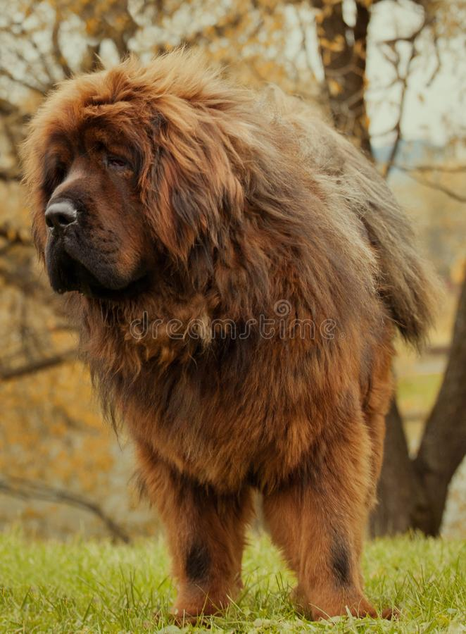 Czerwony tibetan mastifa psa jesieni ogród zdjęcie royalty free