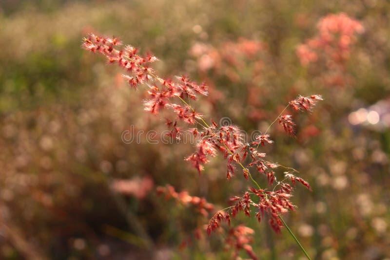 Czerwony trawa kwiat fotografia royalty free