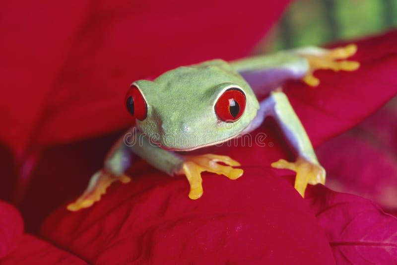 czerwony treefrog zezowaty obrazy stock