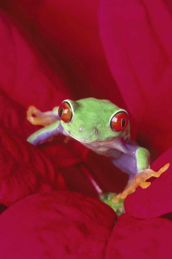 czerwony treefrog zezowaty zdjęcie stock