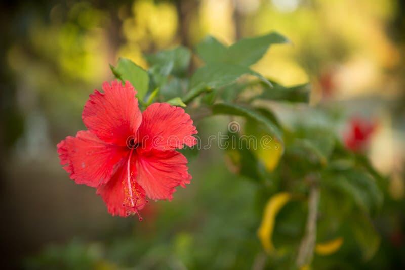 Czerwony Tropikalny kwiat w Nikaragua obraz royalty free