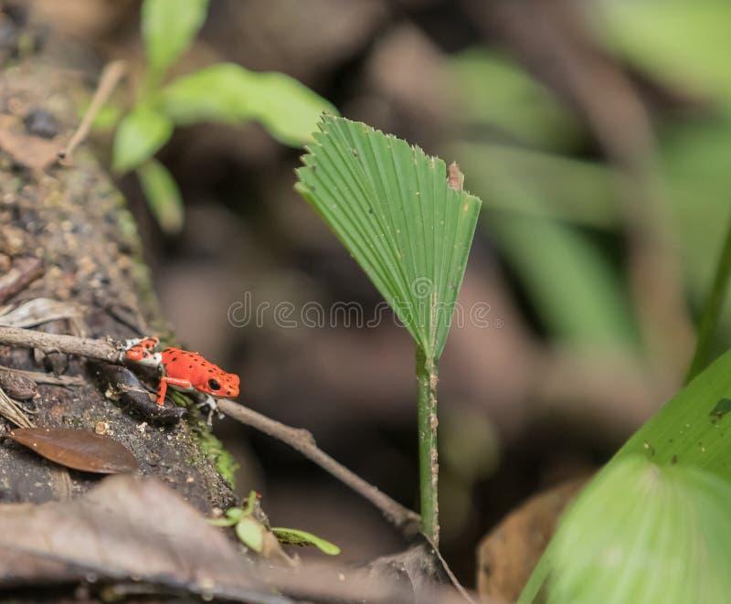 Czerwony truskawkowy jad strzałki żaby Oophaga pumiliom przy Bastimento obraz stock