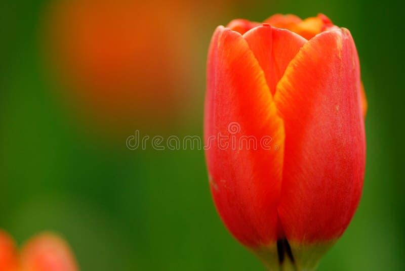 czerwony tulipan zdjęcie stock
