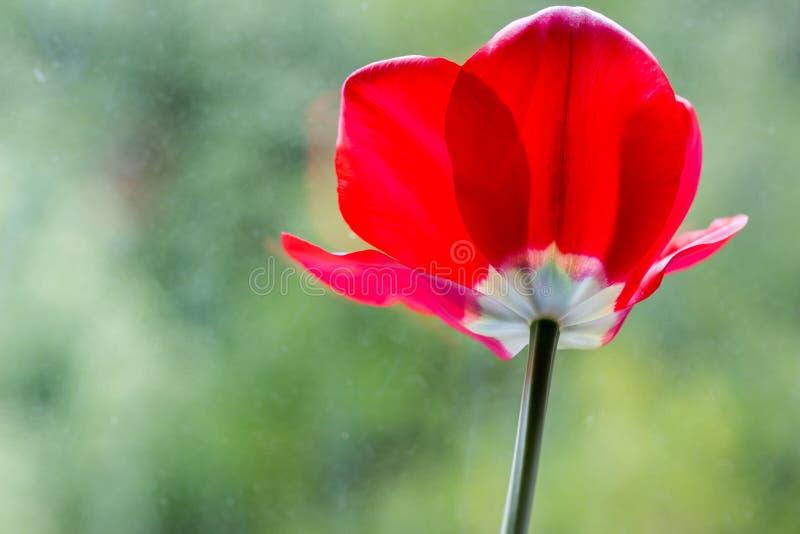 Czerwony tulipan zdjęcie royalty free