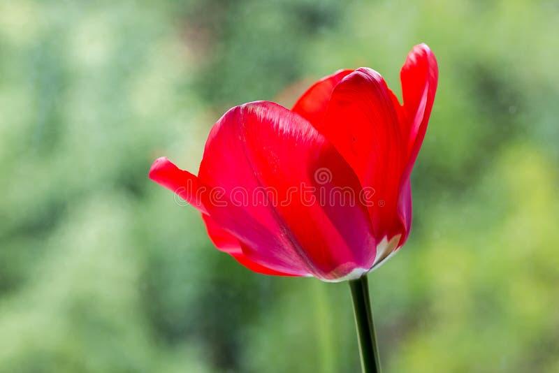 Czerwony tulipan obrazy stock