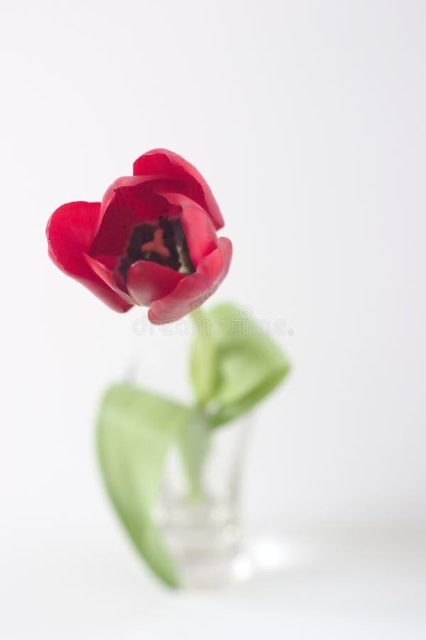 czerwony tulipan pojedyncze obrazy stock