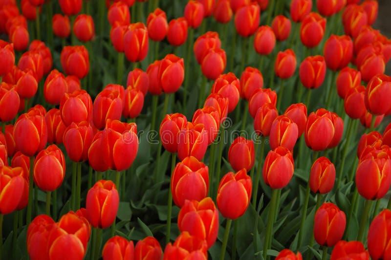 czerwony tulipan pola obraz royalty free