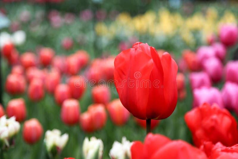 czerwony tulipan przeciw t?u inni tulipany jeden tulipan w g?r? fotografia royalty free