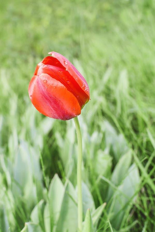 Czerwony tulipan w kroplach rosa na tle jasnozielona trawa w wiosny popołudniu obrazy royalty free