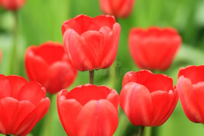 Czerwony tulipan wiosny czas kwitnie w ogródzie zdjęcia royalty free
