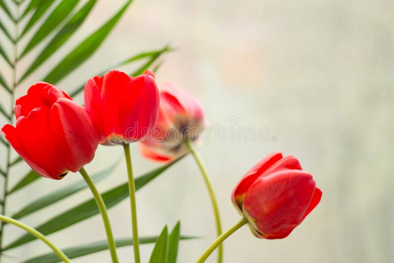 Czerwony tulipanowy t?o Wiosna kartka z pozdrowieniami kwiaty gręplują z kopii przestrzenią obrazy royalty free