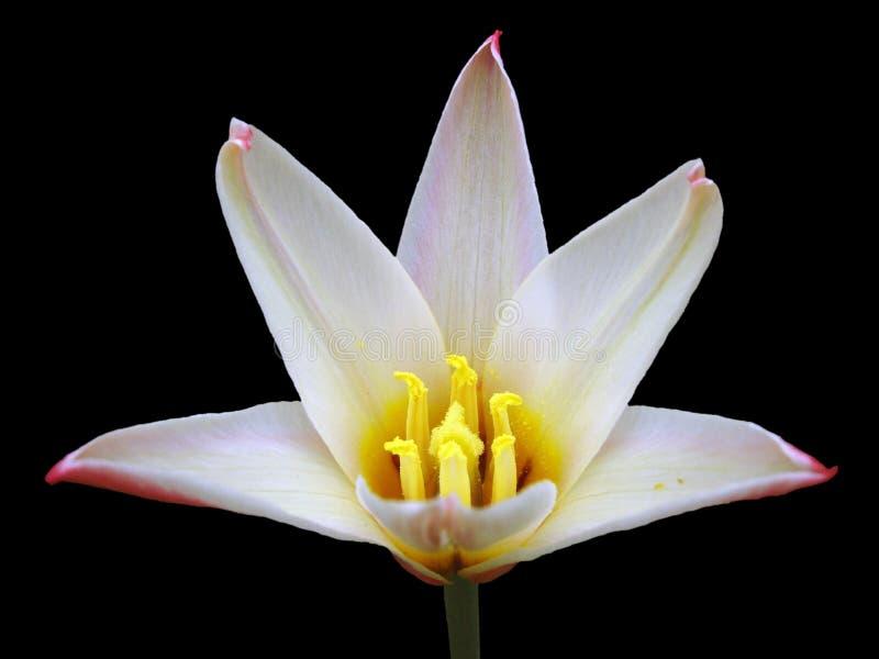 czerwony tulipanowy white zdjęcia stock