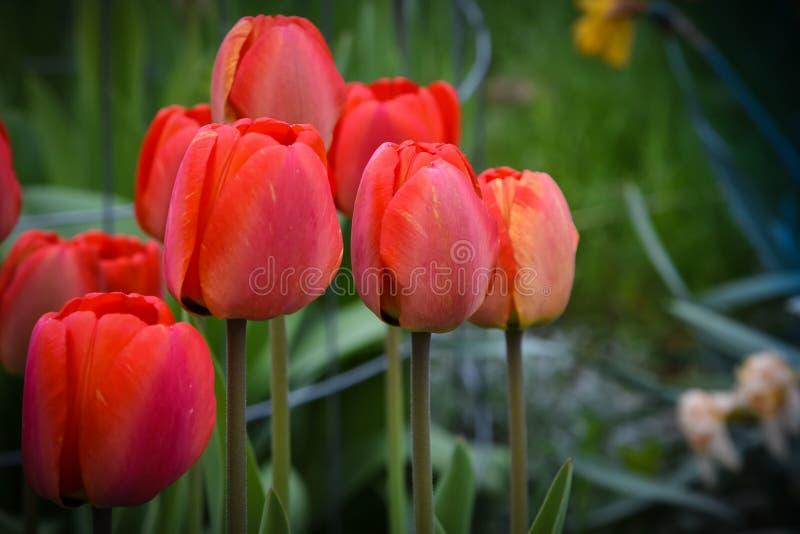 Czerwony tulipanu grono obraz royalty free
