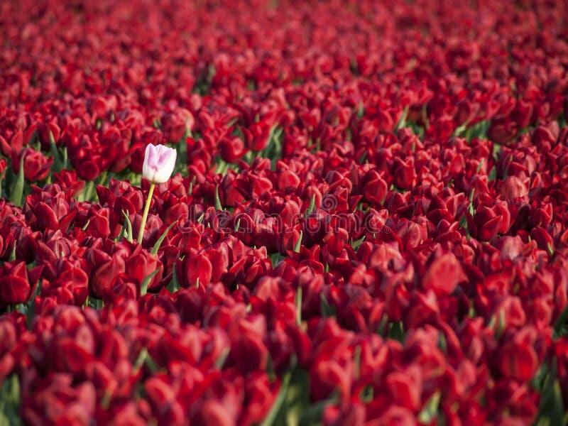 Czerwony tulipanu pole obraz royalty free