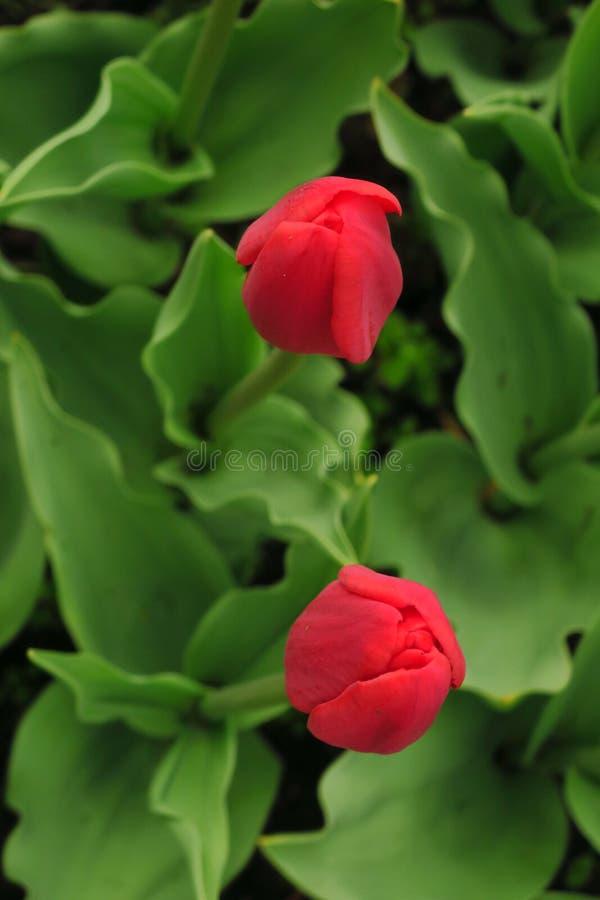 Czerwony tulipanu pole w holandiach czerwony tulipanu odpowiada Czerwony tulipanu widok Czerwoni tulipanów pola w Holandia obraz royalty free