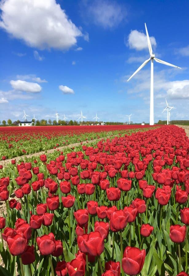 Czerwony tulipanu pole z wiatraczkiem Zeewolde zdjęcia royalty free