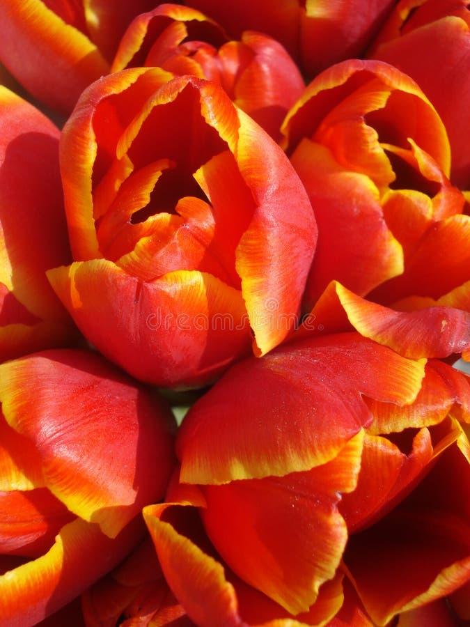 Czerwony tulipanu tło obrazy royalty free