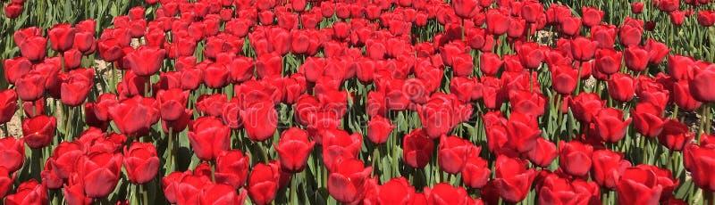 Czerwony Tullips Flevoland Zeewolde obraz stock