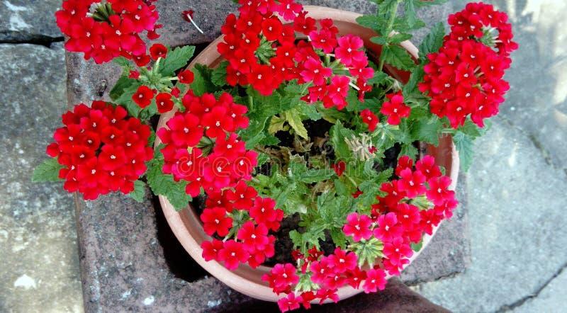 Czerwony Verbena w flowerpot obrazy stock