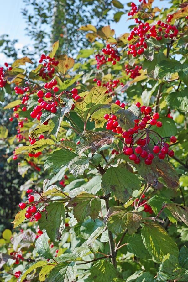 Czerwony viburnum krzak obrazy royalty free