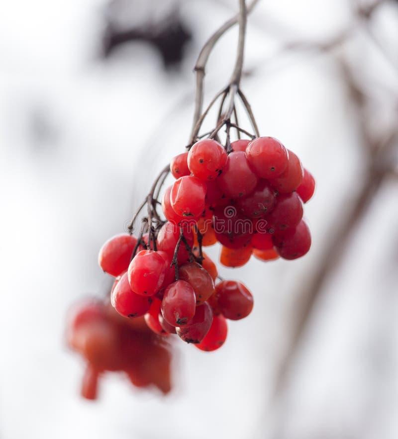 Czerwony viburnum na drzewie w zimie zdjęcie stock