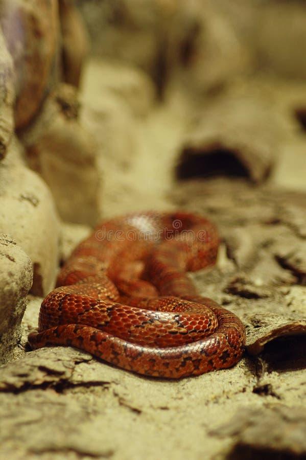 Download Czerwony wąż obraz stock. Obraz złożonej z sunący, ogród - 139585