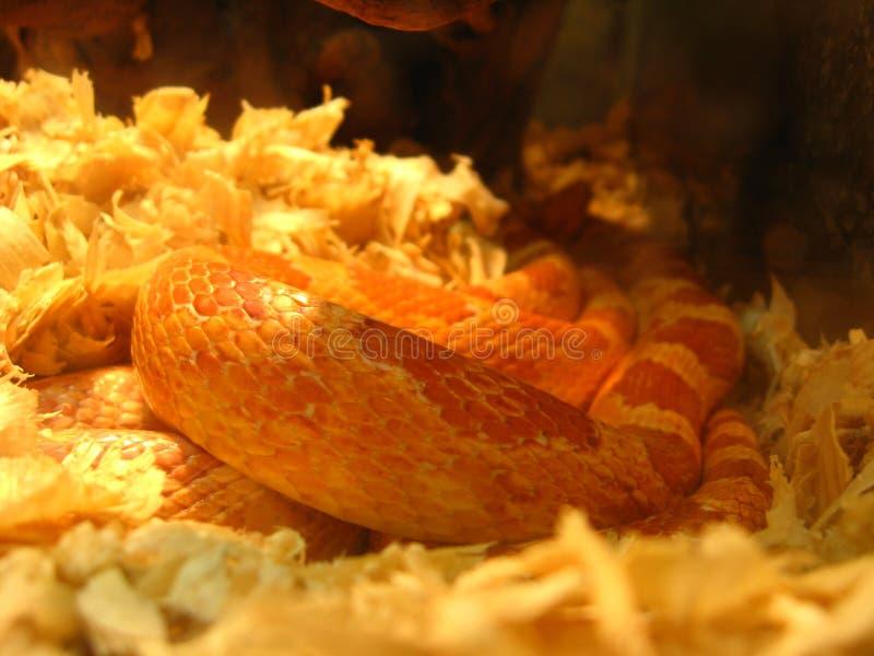 Czerwony wąż w terrarium fotografia stock