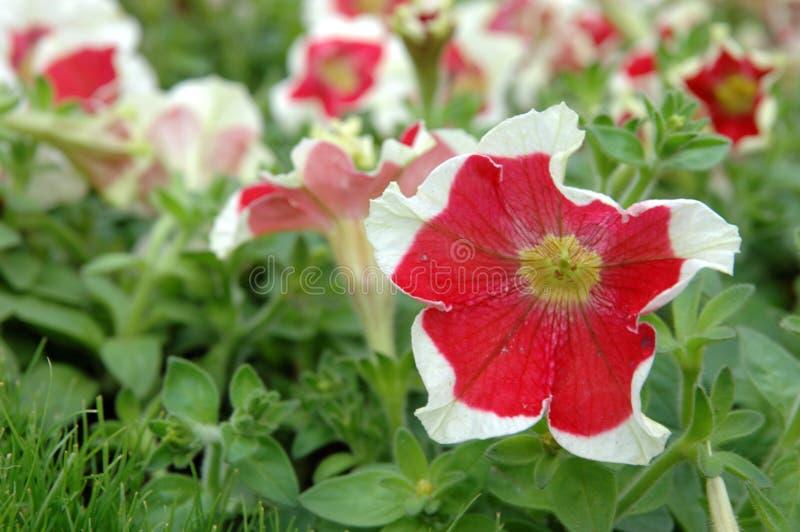czerwony white petunio zdjęcia stock