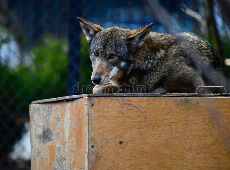 Czerwony wilk -1 zdjęcie royalty free