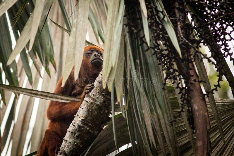 Czerwony wyjec małpy Alouatta Seniculus zdjęcie royalty free