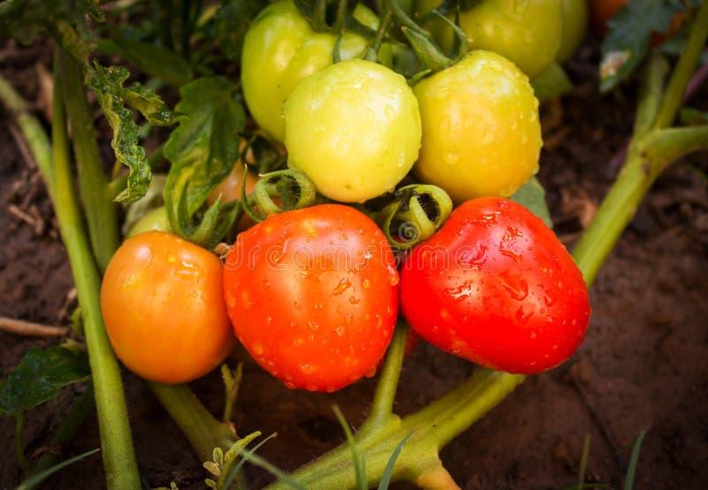 czerwony zamknięci świezi czerwoni pomidory fotografia stock