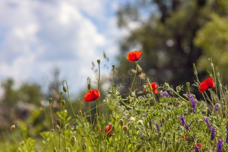 Czerwonych maczków kwiatów tła niebieskiego nieba zamazana trawa zdjęcie stock