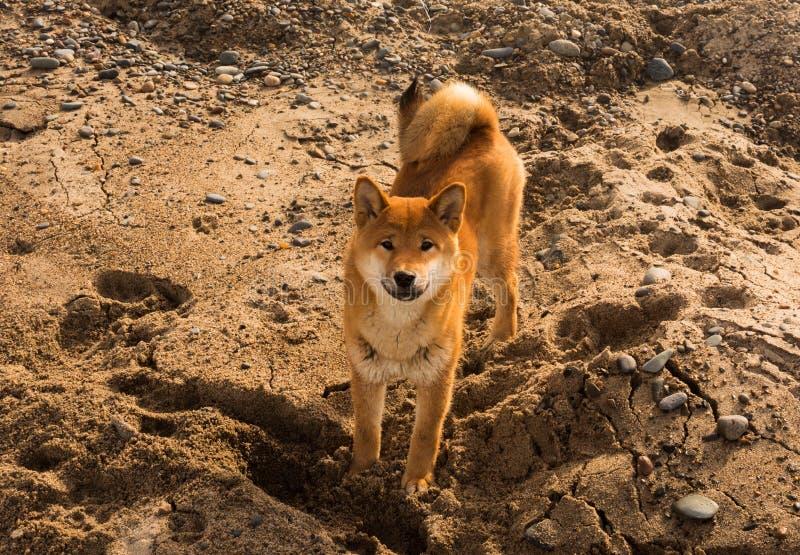 Czerwonych potomstw shiba-inu psia pozycja na plaży zdjęcie stock