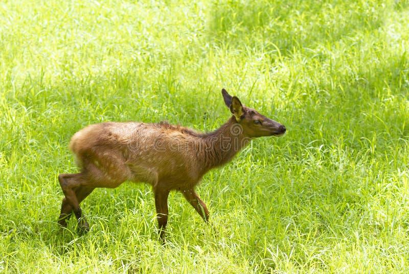 Czerwonych rogaczy bieg przez pola jeleni cwelichy w lecie w Kanada zdjęcie stock