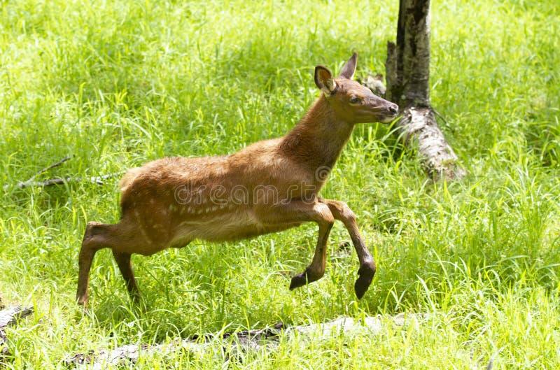 Czerwonych rogaczy bieg przez pola jeleni cwelichy w lecie w Kanada obrazy royalty free