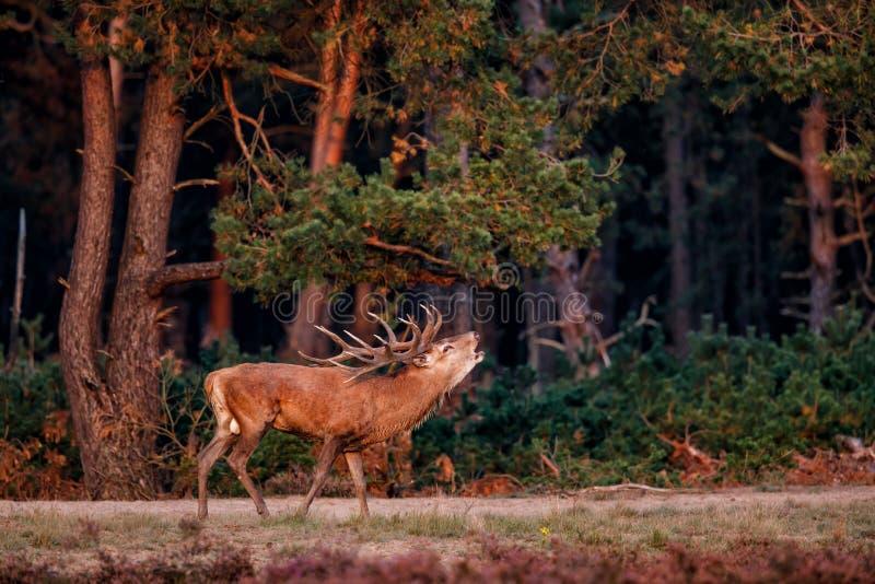 Czerwonych rogaczy jeleń bellowing w rutting sezonie fotografia royalty free