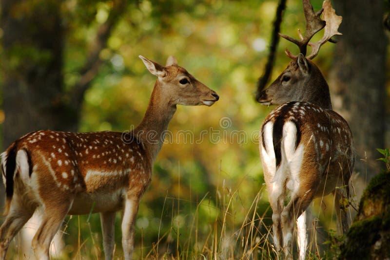 czeski jeleni ugorów gemowej prezerwy ryps fotografia stock
