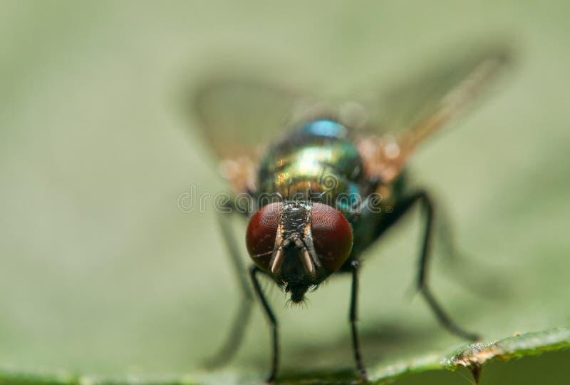 Czołowy makro- wizerunek Pospolita Zielona butelki komarnica obrazy royalty free