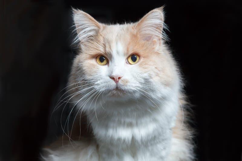 Czołowy portret imbirowy biały kot na czarnym tle zdjęcia royalty free