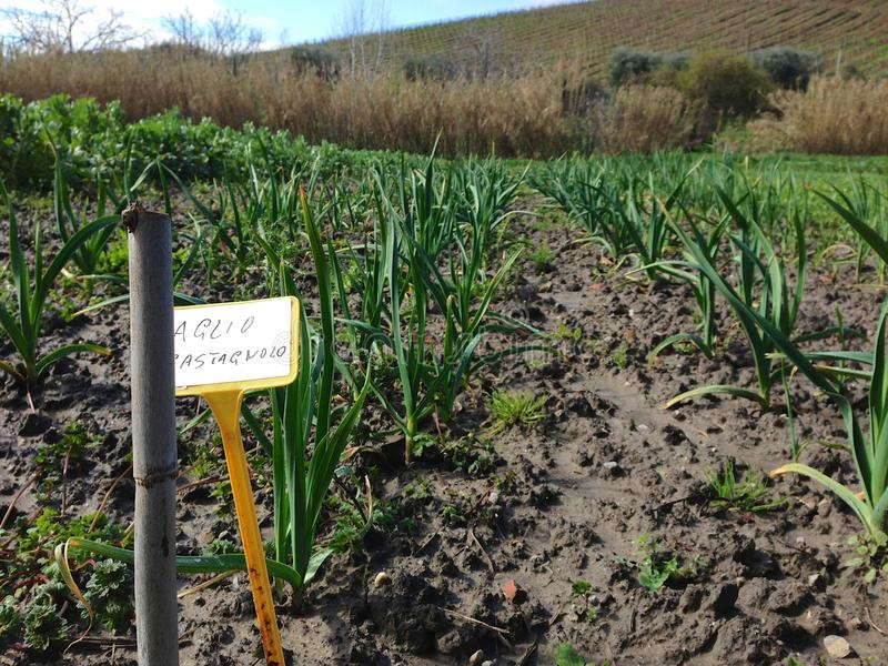 Czosnku dorośnięcie w polu w Sicily, Włochy w wiośnie obraz stock